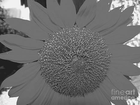 Tournesol - Sun Flower - France by Francoise Leandre