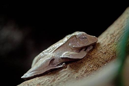Tree Frog by Dan Lease