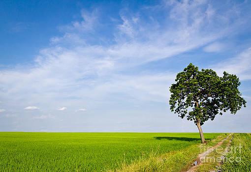 Tree In Paddy Field by Mongkol Chakritthakool