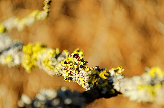 Tree Lichen photograph by Light Shaft Images