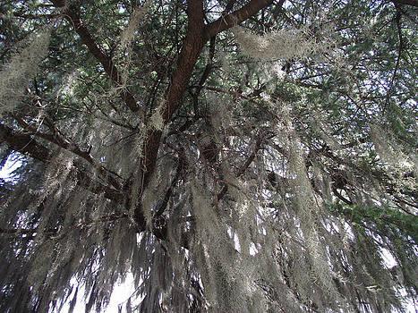 Tree Moss by Terrill Wilson