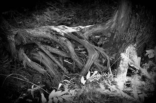 Tree Roots1 by Jennifer  King
