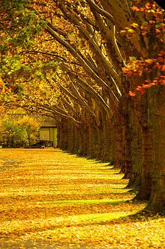 Tree row in fall by Matthias Siewert