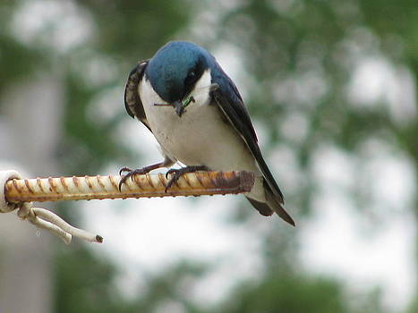 Tree Swallow's Feast by Corinna Garza