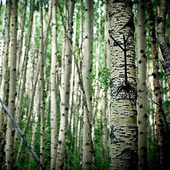 Trees Tell Stories. #trees #aspen by Victoria Haas