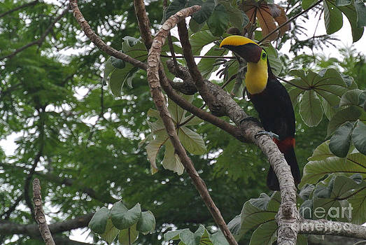 Treetop Toucan by JD Photography