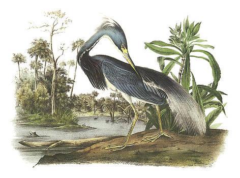 John James Audubon - Tricolored Heron
