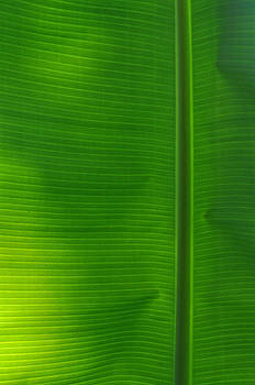 Tropical Leaf 1 by Peter  McIntosh