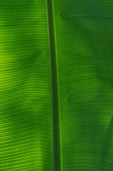 Tropical Leaf 2 by Peter  McIntosh