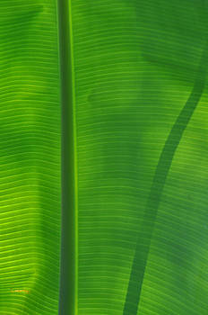 Tropical Leaf 3 by Peter  McIntosh
