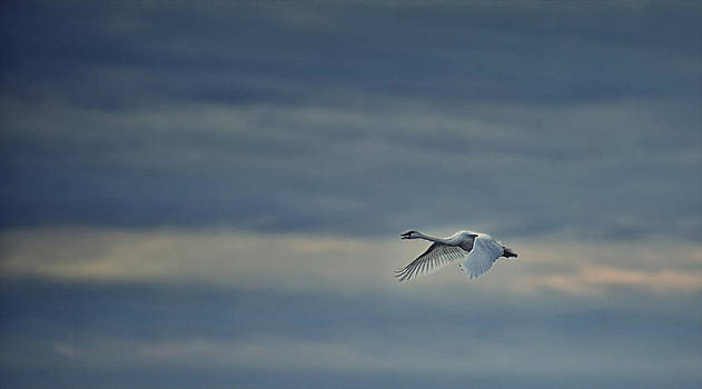 Trumpeter Swan in Flight by Mark Wagoner