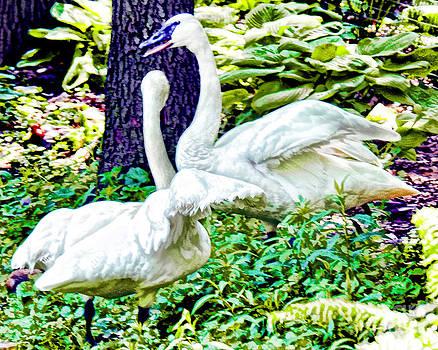Anne Ferguson - Trumpeting Swans