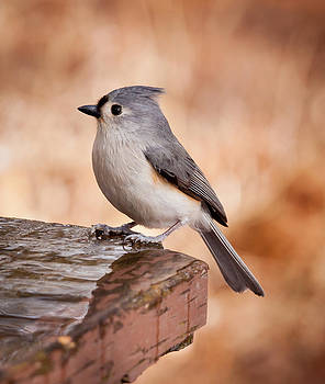 Tufted Titmouse by Barbara Barcroft