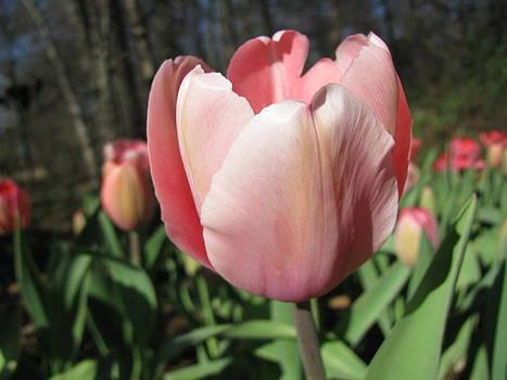 Tulip by Dawn Davis