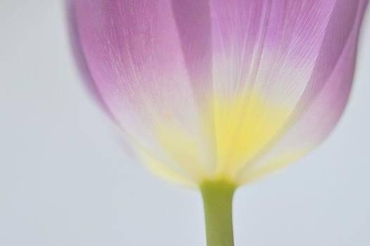 Tulip Dreams by Carole Rockman