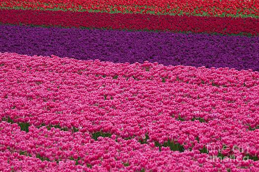 Katka Pruskova - Tulip Field 1