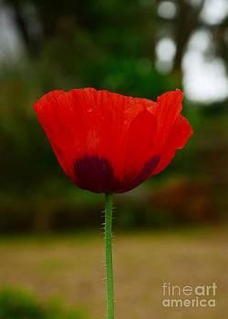Tulip Flower by Jiss Joseph