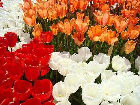 Baslee Troutman - Tulip Flowers Festival art prints Floral Baslee