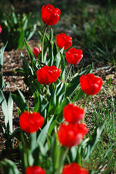Tulip Lineup by Sheryl Cox