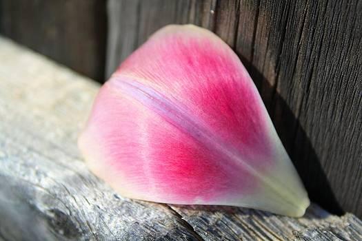 Lynnette Johns - Tulip Petal
