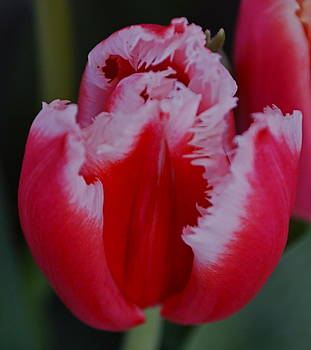 Michelle Cruz - Tulip Petals Blossom