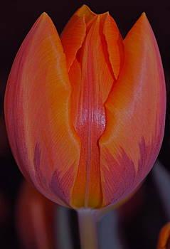 Michelle Cruz - Tulip Sunset