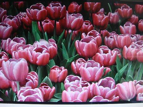 Tulips by Cherryl Fernandez