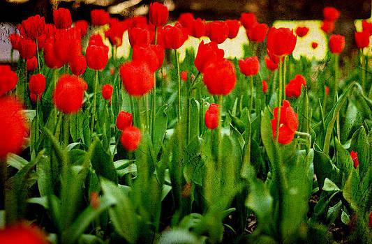 Tulips by Cheryl McCain