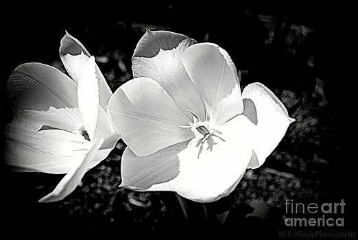 Tulips in Black and white by Melissa Nickle
