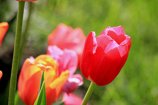 Tulips by James Hammen