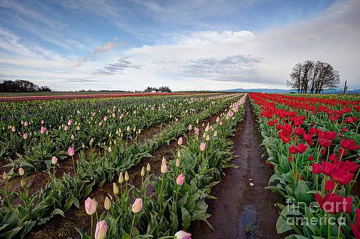 Tulips To Infinity by Bdsmalley