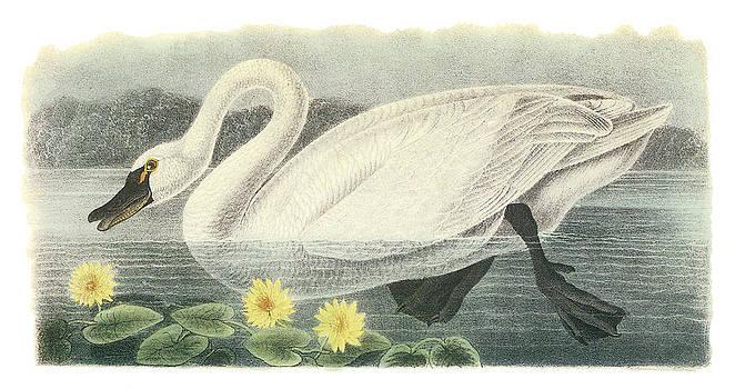 John James Audubon - Tundra Swan