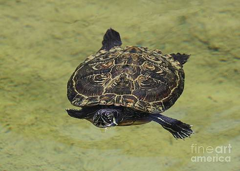 Turtle Afloat by Theresa Willingham