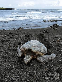 Turtle Tracks by David Taylor