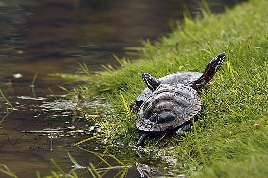 Turtles by Cindi Ressler