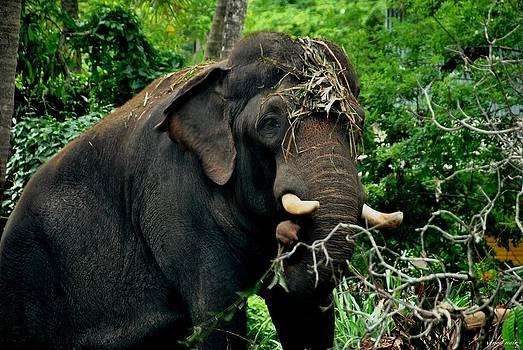 Tusker in Hormonal Overdrive by Vinod Nair