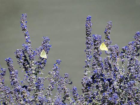 Twin Butterflies by Margaret  Slaugh
