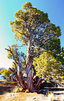Twisted Juniper Tree by Bianca Collins