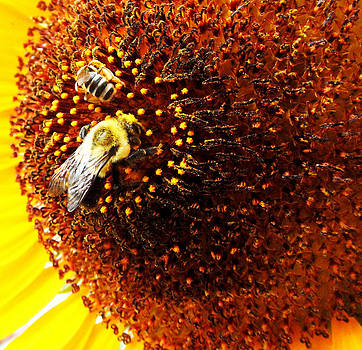 Jon Baldwin  Art - Two Bees and a Sunflower