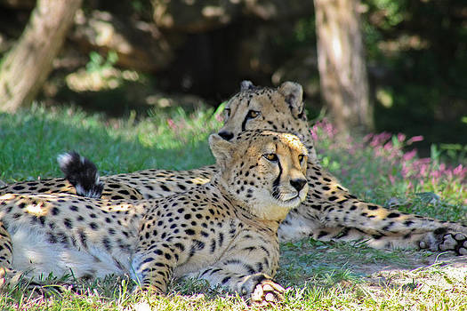 Two Cheetahs by Barbara Cary