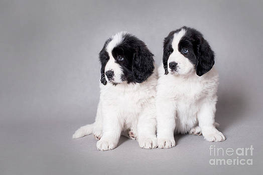 Waldek Dabrowski - Two little Landseer puppies portrait