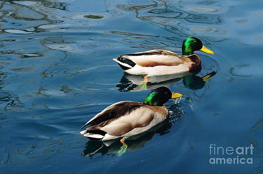 Two Mallard Ducks by D Nigon