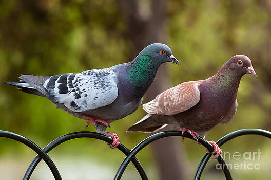 Two pigeons by Andrew  Michael