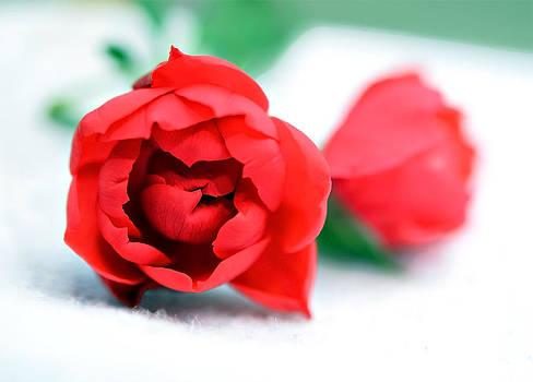 Two Rose Buds by Susan Leggett