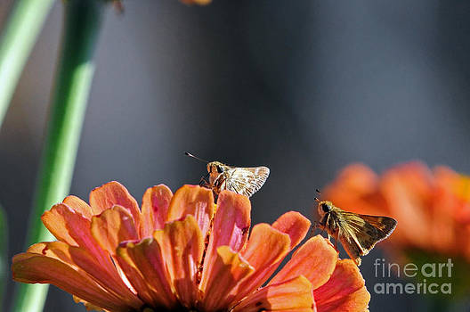 Two Skipper Butterflies by Laura Mountainspring