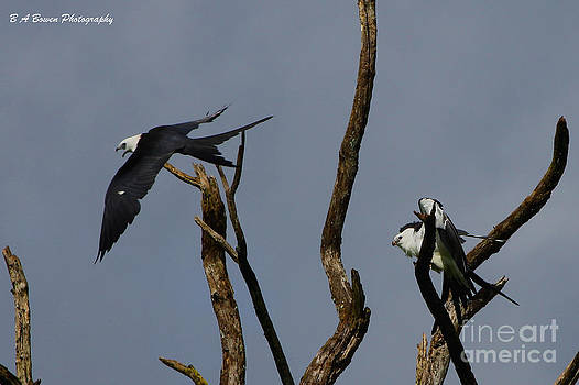 Barbara Bowen - Two Swallow tailed kites in a snag