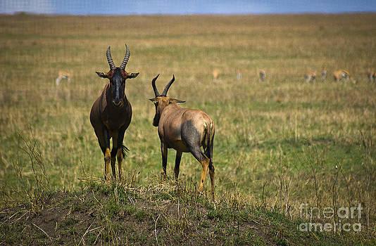 Darcy Michaelchuk - Two Topis Antelope on Mound