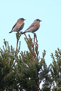 Wingsdomain Art and Photography - Two Western Bluebirds Perched . 40D12013