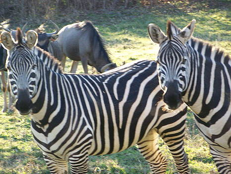 Up Close Zebras by Sharon Martin