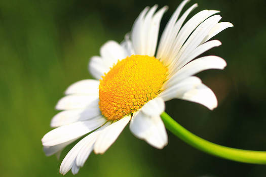 Upturned Daisy by Brian Pflanz